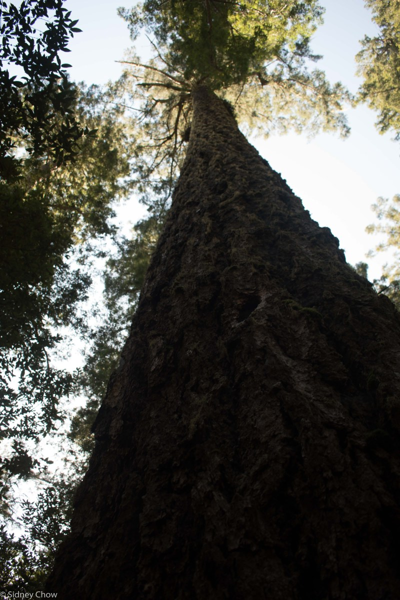 Redwood National and State Parks Part One: Tallest Tree and Elk